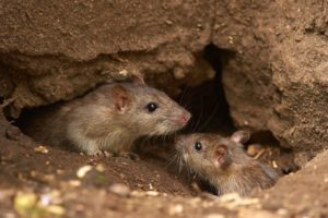 rats control in Singapore