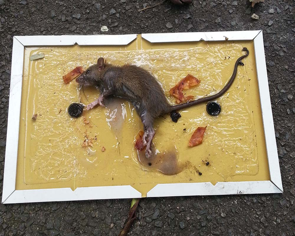 rats control Singapore