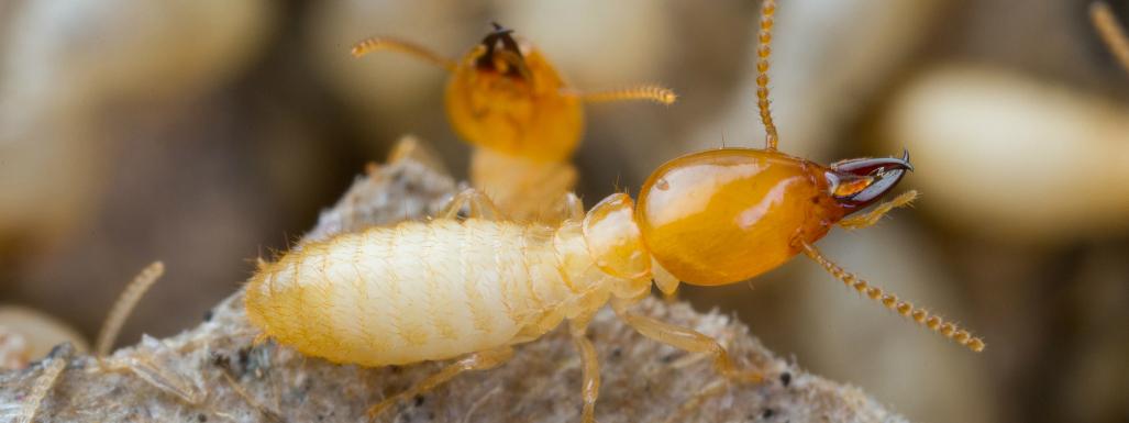 Natural Termite Remedies